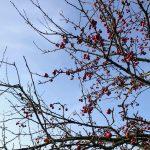 kirsebærtre2